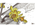 Daffodils in the Snow, from original pen & ink by Wayne Bricco, Acrewood Art