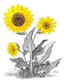 Wild Sunflowers, from original pen & ink by Wayne Bricco, Acrewood Art