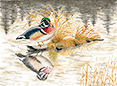 Wood Duck on Otters Pond, from original pen & ink by Wayne Bricco, Acrewood Art