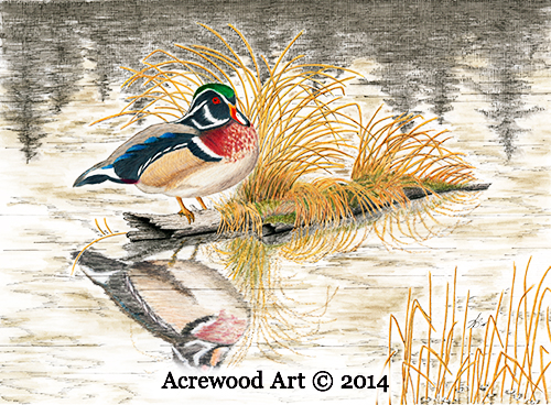 Wood Duck on Otters Pond, from original pen & ink by Wayne Bricco